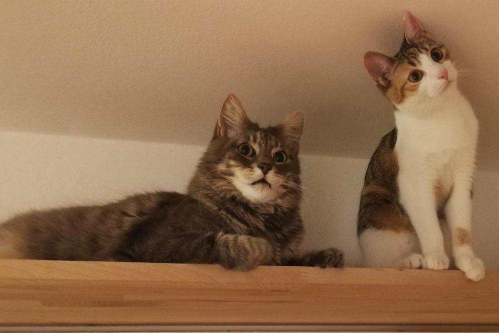 illusione ottica gatti